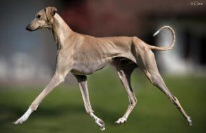 azawakh-dog-breed-information-16