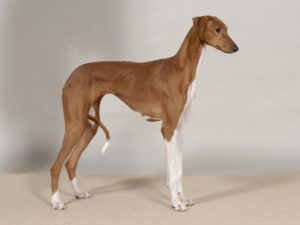 azawakh-dog-breed-information-17