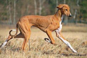 azawakh-dog-breed-information-20