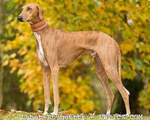 azawakh-dog-breed-information-21