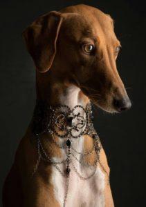 azawakh-dog-breed-information-22