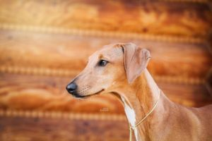 azawakh-dog-breed-information-24