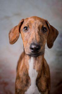 azawakh-dog-breed-information-25