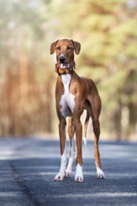 azawakh-dog-breed-information-3