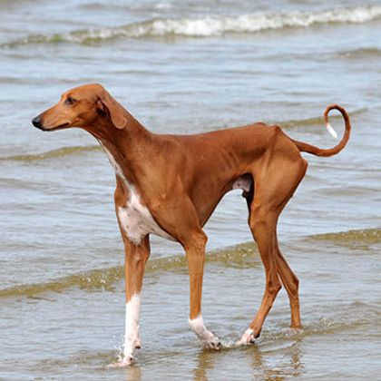 azawakh-dog-breed-information-6