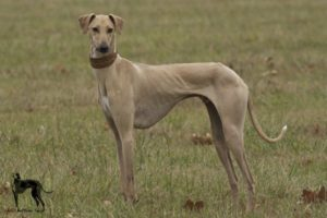 azawakh-dog-breed-information-7