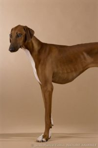 azawakh-dog-breed-information-8