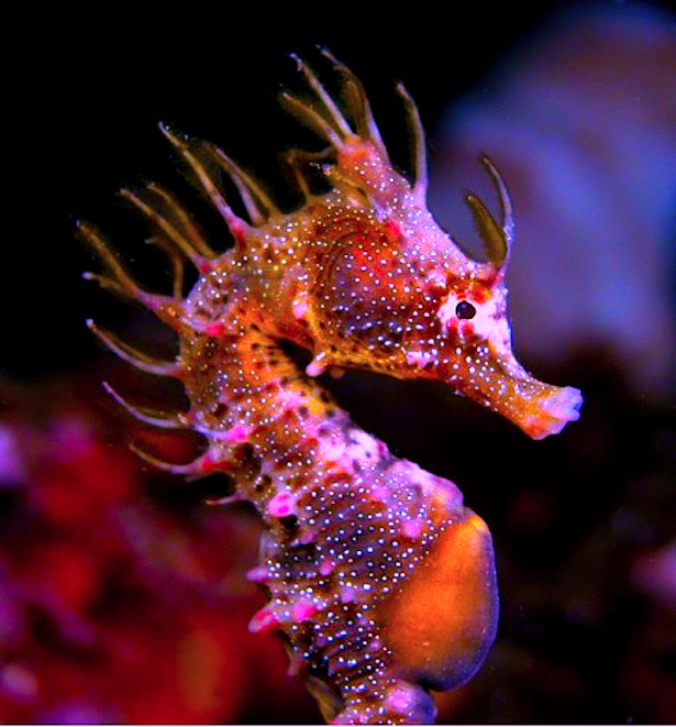 Colorful Seahorses That Will Make Your Jaw Drop