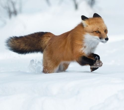 cute-photos-of-some-very-friendly-foxes-1760615824551299924