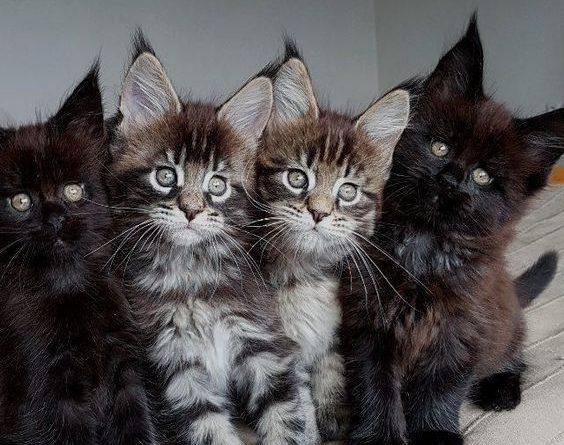 maine-coon-kittens-to-help-get-you-through-the-day-1410109109817237811