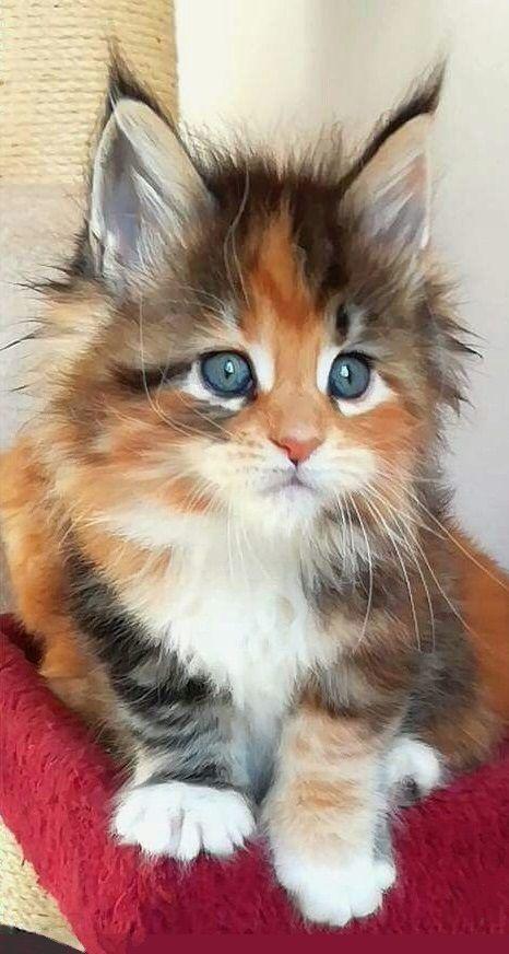 Maine Coon Kittens To Help Get You Through The Day