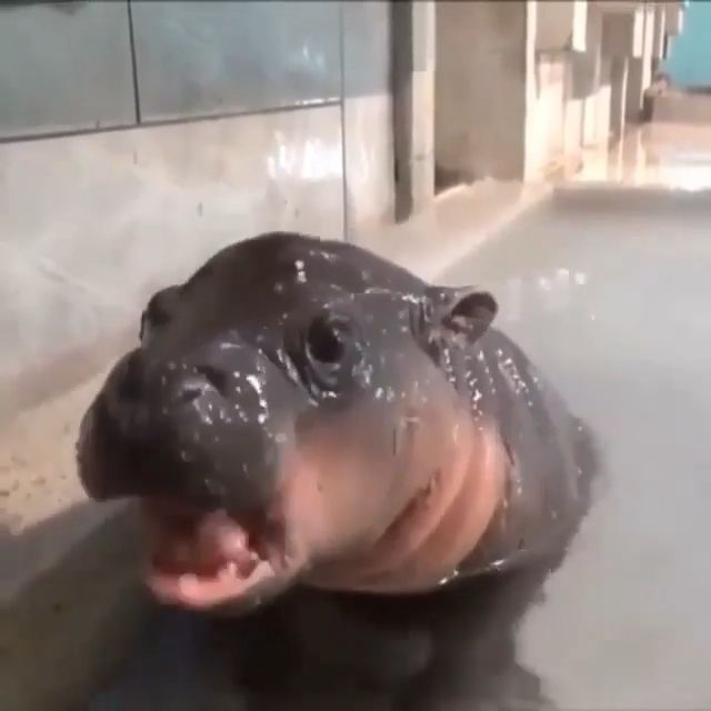 Cutest Baby Hippos Of All Time