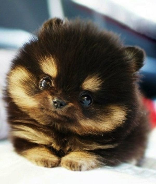 Teeny Tiny Puppies