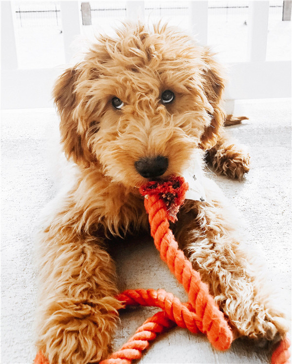 31 Cute Goldendoodle Puppies That Will Take Your Breath Away